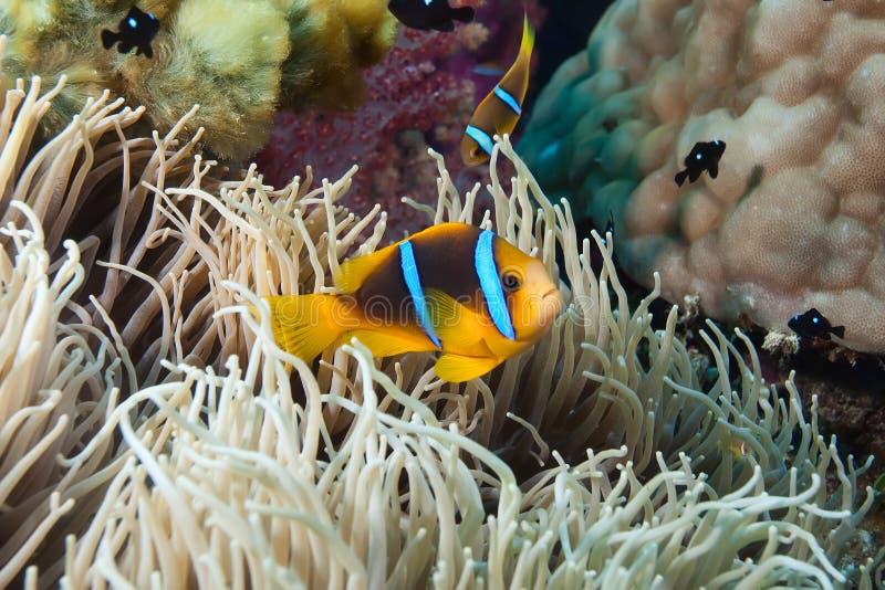 De Vissen van de clown, Fiji royalty-vrije stock afbeelding
