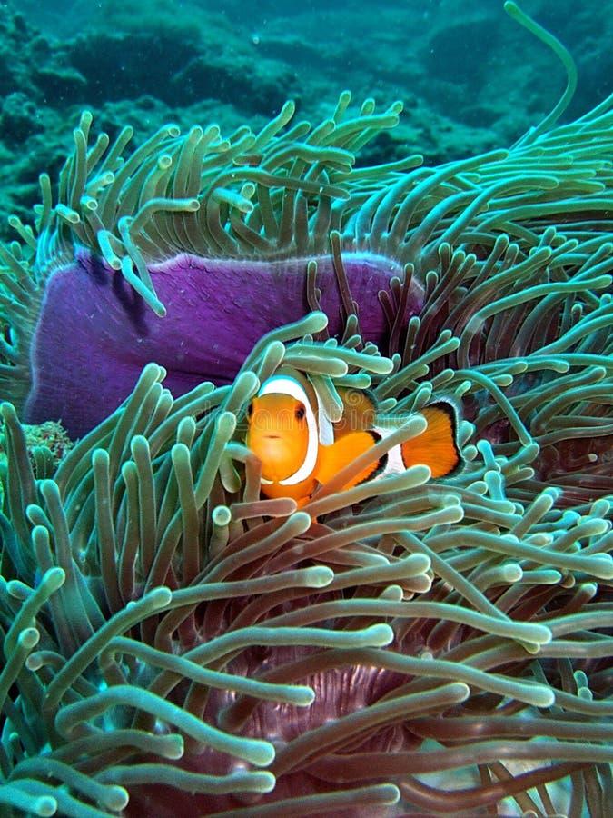 De Vissen van de clown in het Koraalrif stock foto