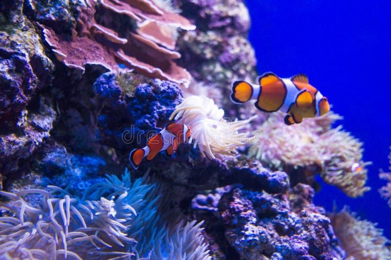 De Vissen van de Clown van Nemo royalty-vrije stock foto