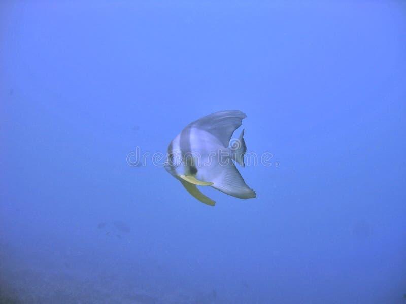 De vissen van de engel onderwater royalty-vrije stock afbeeldingen