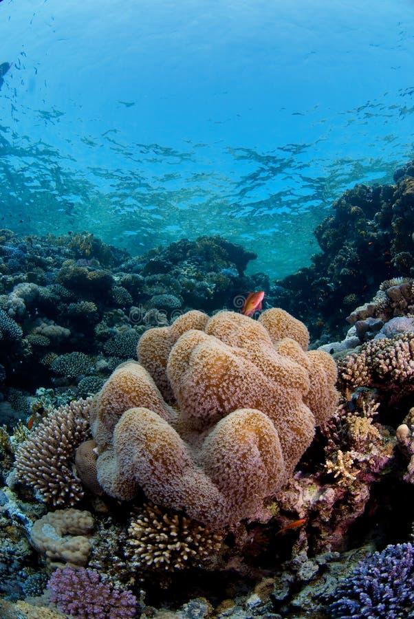 De vissen van de ertsader op koraal stock fotografie