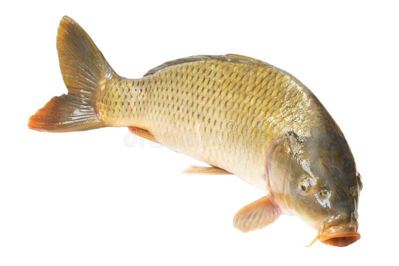 De vissen van de karper royalty-vrije stock afbeelding