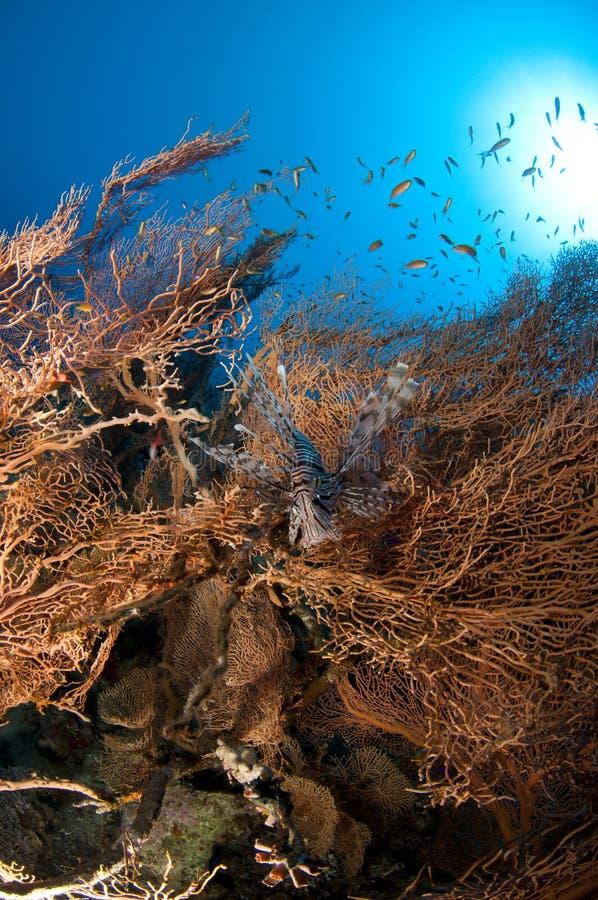 De vissen van de leeuw stock afbeelding