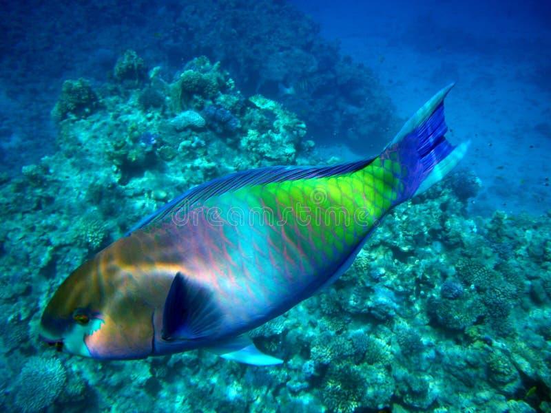 De vissen van de papegaai in het Rode Overzees royalty-vrije stock foto's