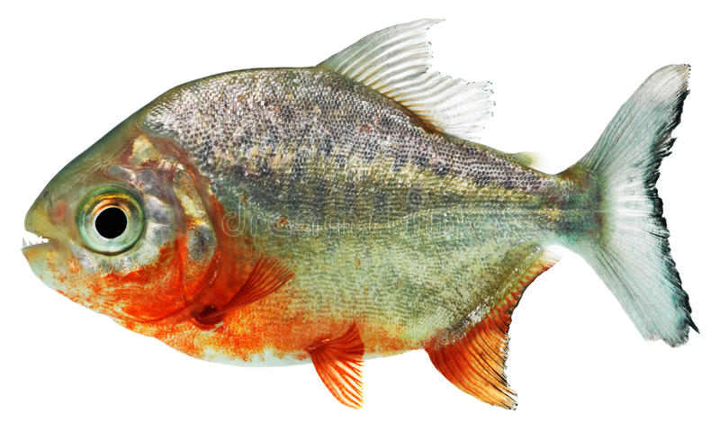 De vissen van de piranha stock fotografie