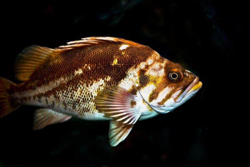 De Vissen van de rots royalty-vrije stock afbeelding