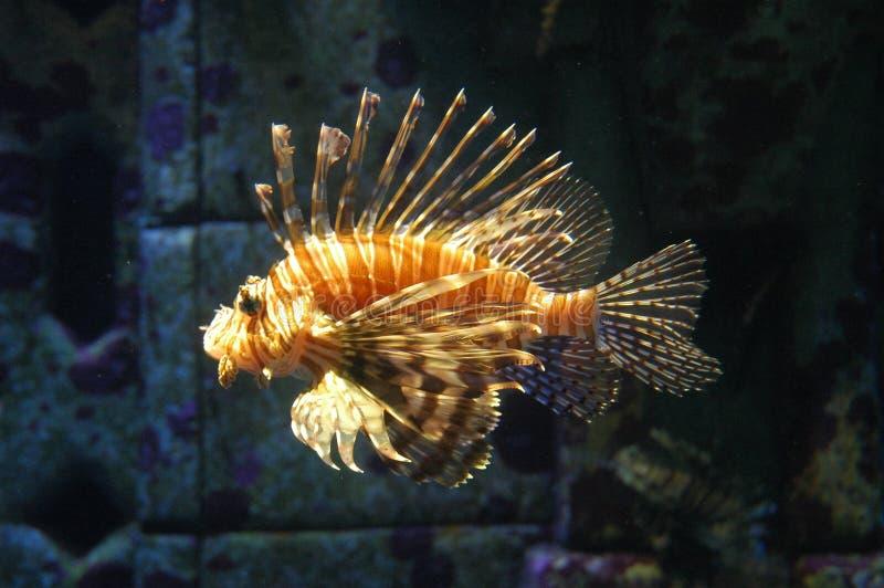 De Vissen van de tijger stock foto
