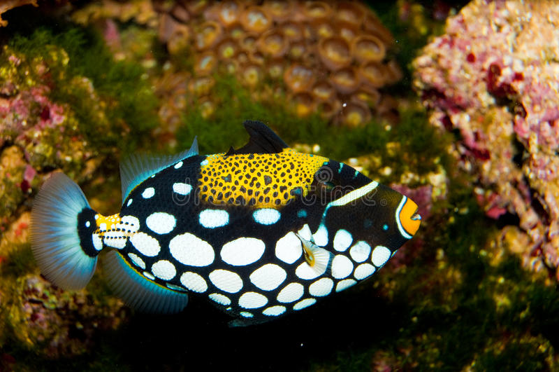 De Vissen van de Trekker van de clown royalty-vrije stock foto's