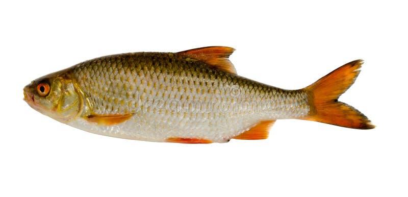 De vissen van de voorn na visserij geïsoleerdo op wit royalty-vrije stock afbeeldingen