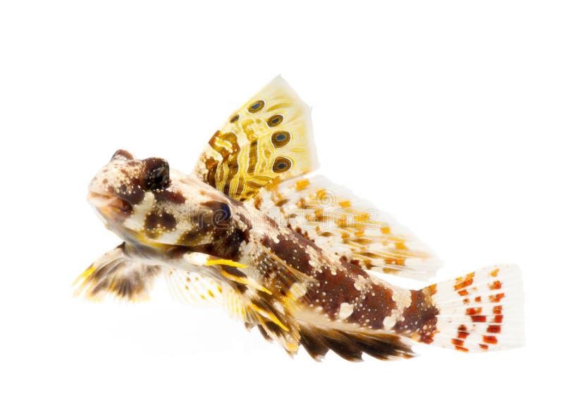 De vissen van Dragonet die op witte achtergrond worden geïsoleerd stock foto's