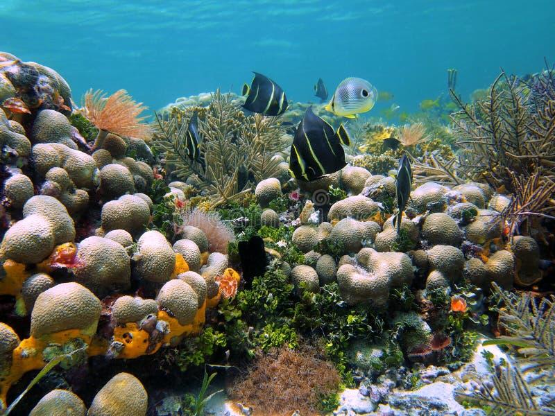 De vissen van engelen in de koralen royalty-vrije stock afbeelding