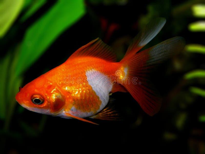 Download De vissen van het aquarium stock afbeelding. Afbeelding bestaande uit rivier - 54086823