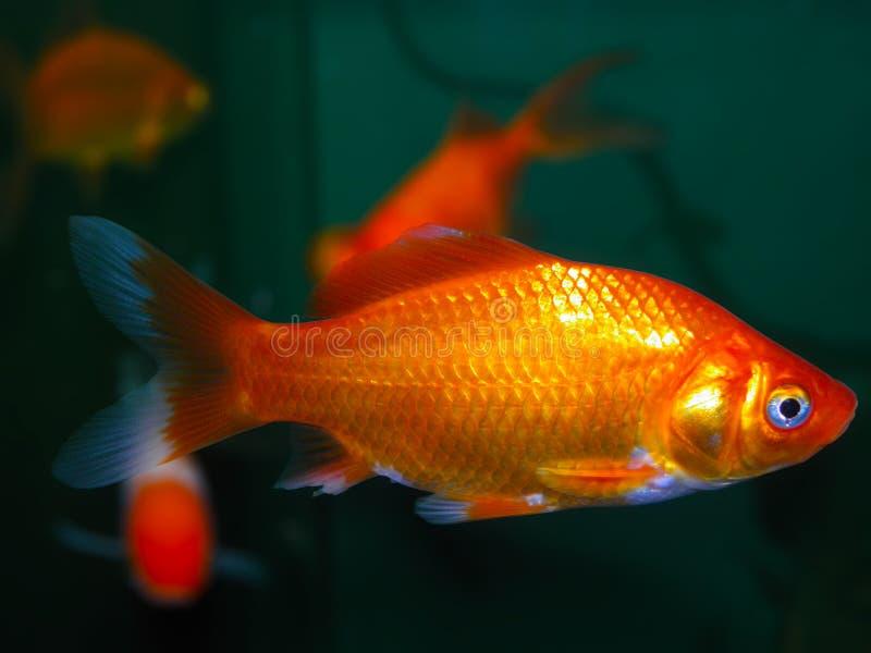 Download De vissen van het aquarium stock foto. Afbeelding bestaande uit amazonië - 54086862