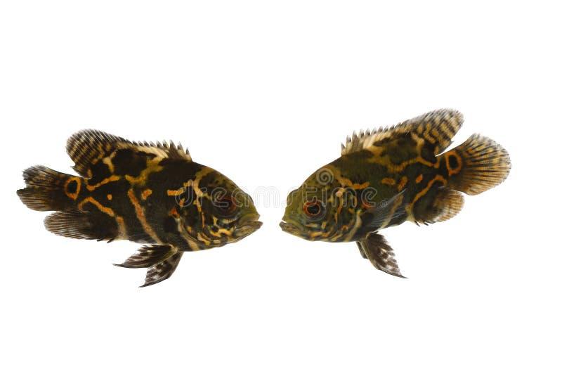 De vissen van het aquarium in liefde stock afbeeldingen