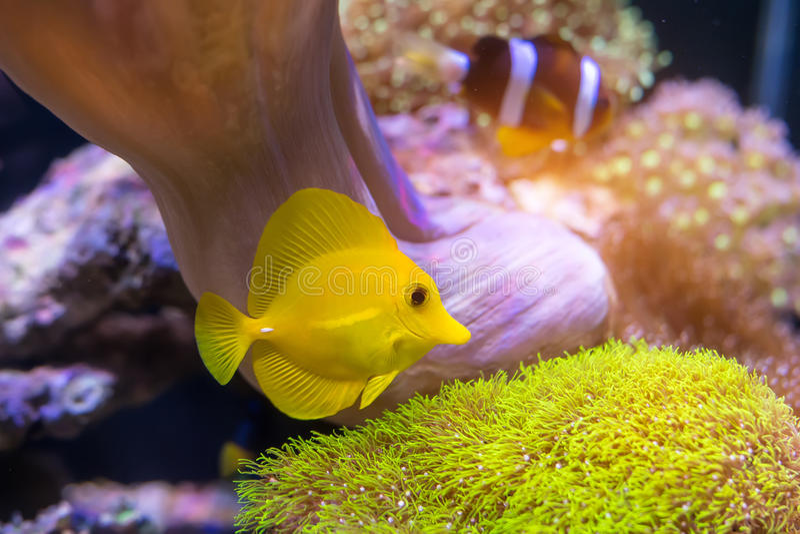 De vissen van het het zoute wateraquarium van Zebrasoma royalty-vrije stock foto