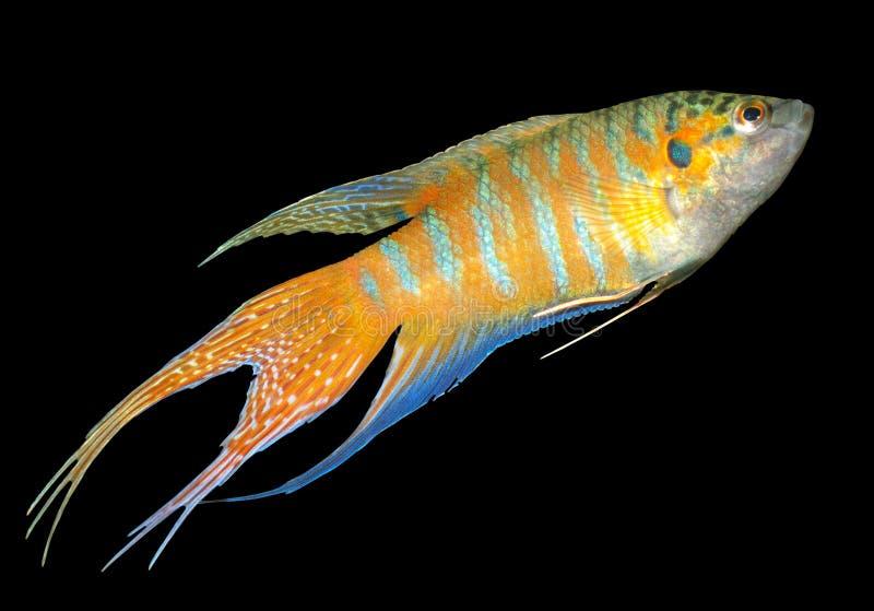 De vissen van het paradijs, of Macropodus Opercularis royalty-vrije stock fotografie