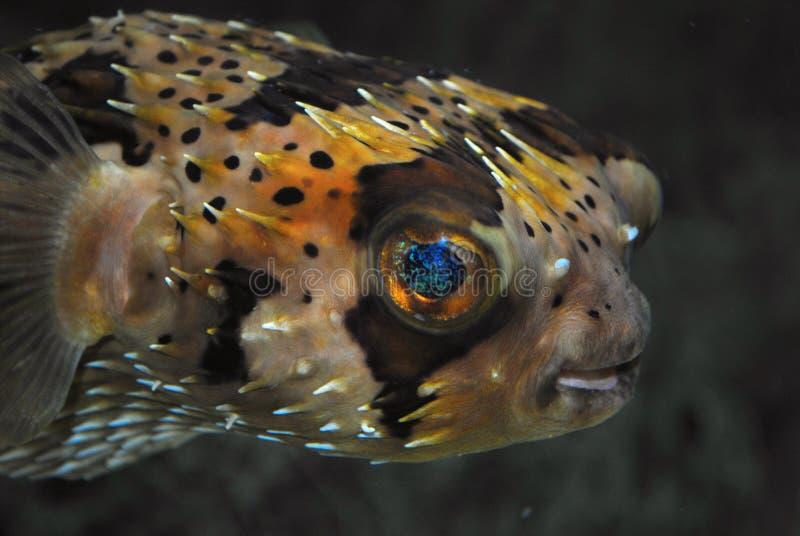 De vissen van het stekelvarken royalty-vrije stock afbeeldingen