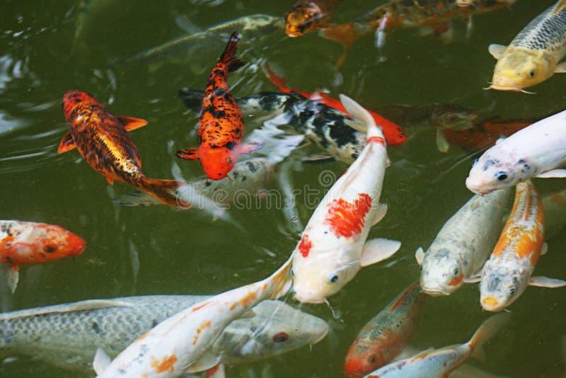 De Vissen van Japan royalty-vrije stock afbeelding