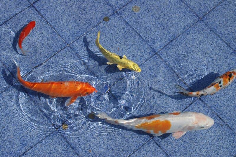 De vissen van Koi in een blauwe pool royalty-vrije stock fotografie