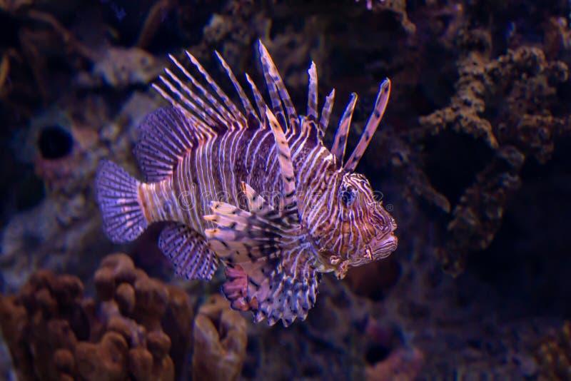 De Vissen van de leeuw royalty-vrije stock afbeeldingen
