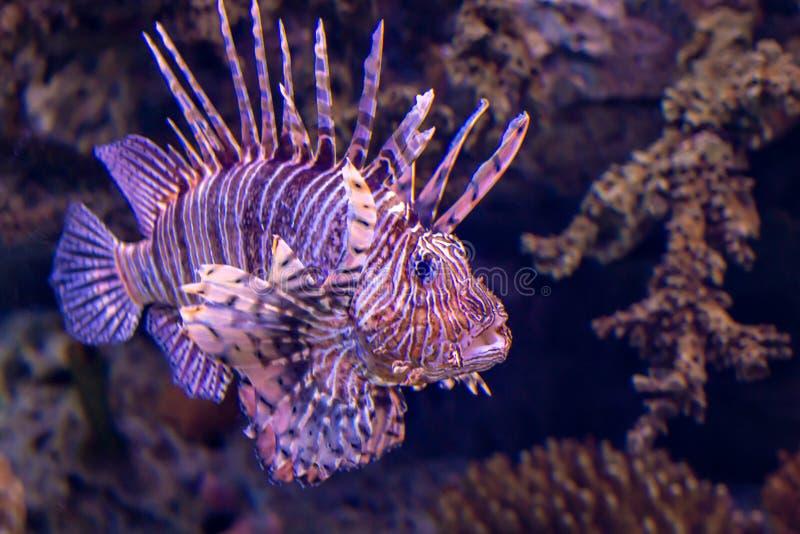 De Vissen van de leeuw royalty-vrije stock afbeelding