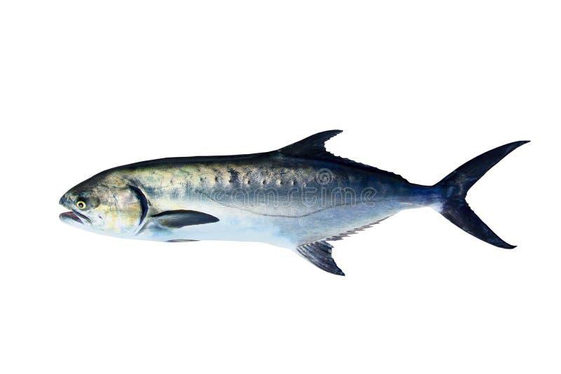 De vissen van Lichia Amia van Garrick die op wit worden geïsoleerde royalty-vrije stock foto's