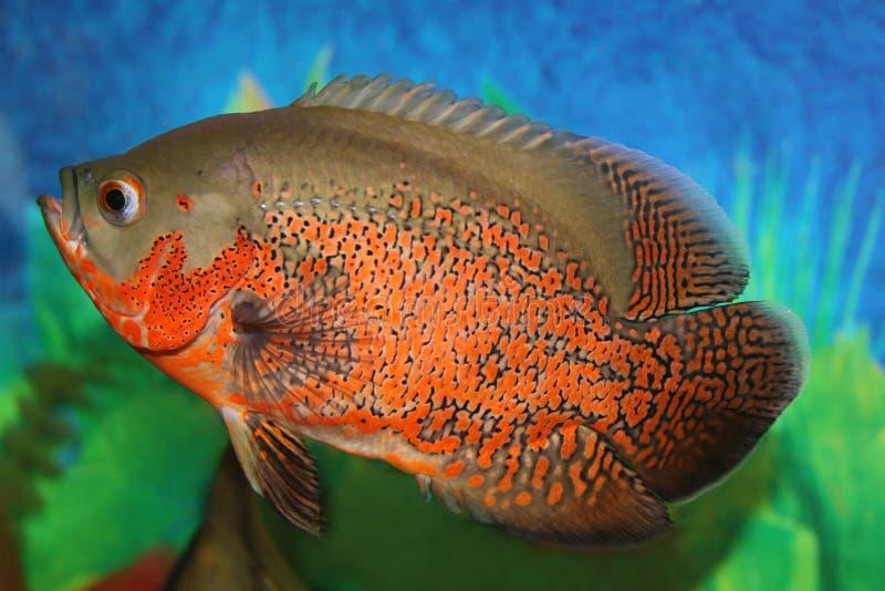 De vissen van Oscar van de tijger. royalty-vrije stock foto