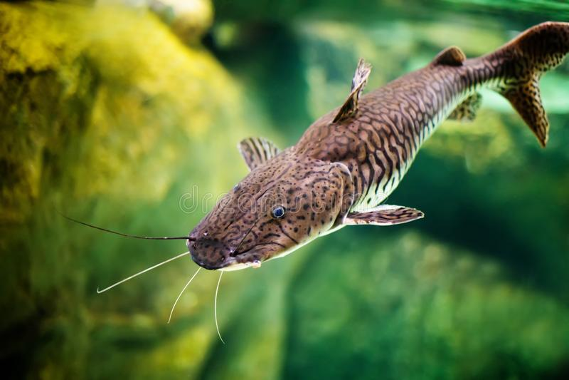 De vissen van Pseudoplatystomatigrinum, de tijger sorubim lange katvis met bakkebaarden Mooie exotische roofdiervissen tegen vaag stock foto