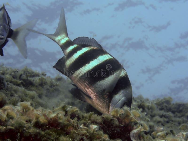 De vissen van Sargo royalty-vrije stock foto