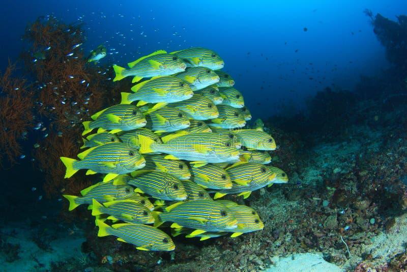 De vissen van Sweetlips royalty-vrije stock afbeeldingen