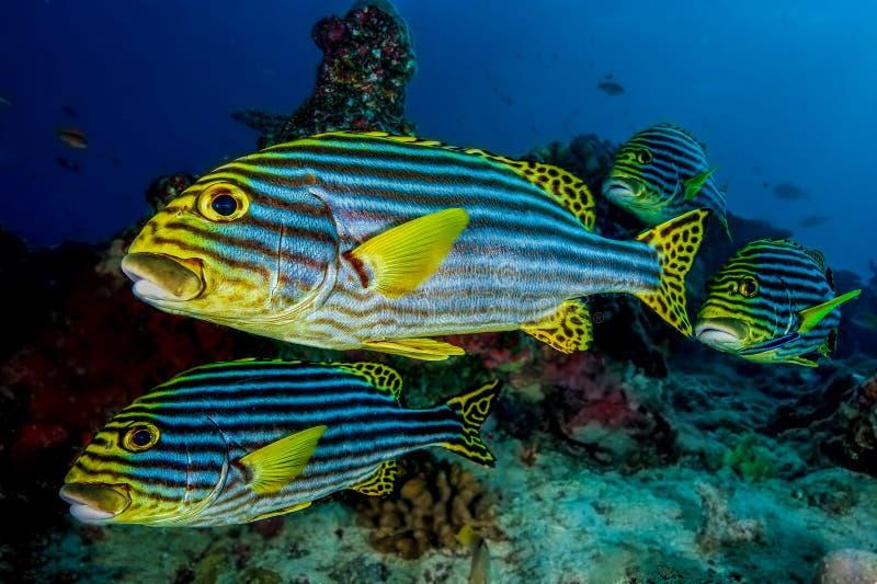 De vissen van Sweetlips royalty-vrije stock fotografie