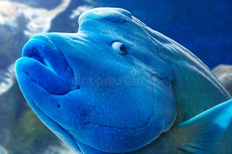 De Vissen van Wrasse van Humphead royalty-vrije stock foto