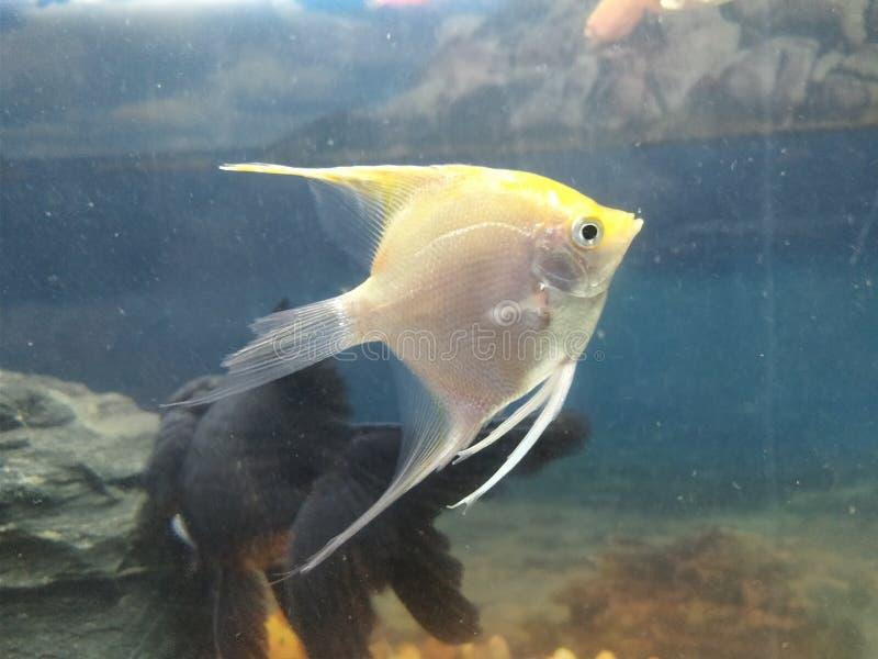 De vissen van zoet wateraqurium royalty-vrije stock afbeelding