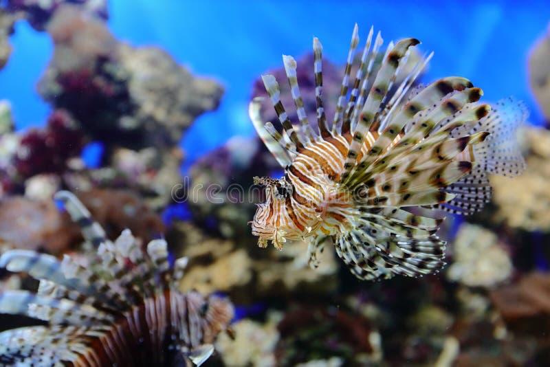 De vissen, de zeeëgels en de krabben, fugu en de sterren, evenals andere inwoners van warme koraalriffen filmden in benaderendste stock foto