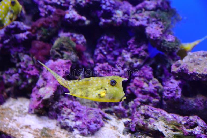 De vissen, de zeeëgels en de krabben, fugu en de sterren, evenals andere inwoners van warme koraalriffen filmden in benaderendste stock fotografie