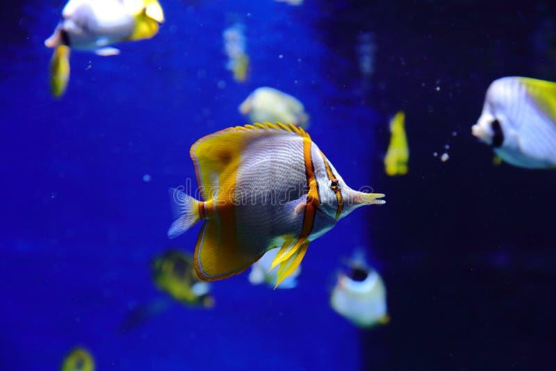De vissen, de zeeëgels en de krabben, fugu en de sterren, evenals andere inwoners van warme koraalriffen filmden in benaderendste stock afbeelding