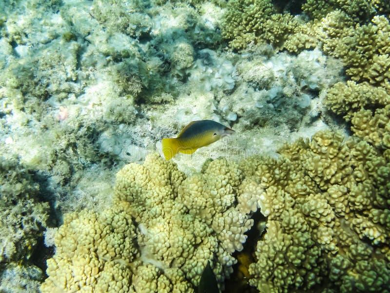 De vissen zwemmen boven het koraalrif, de onderwaterwereld van het Rode Overzees royalty-vrije stock foto