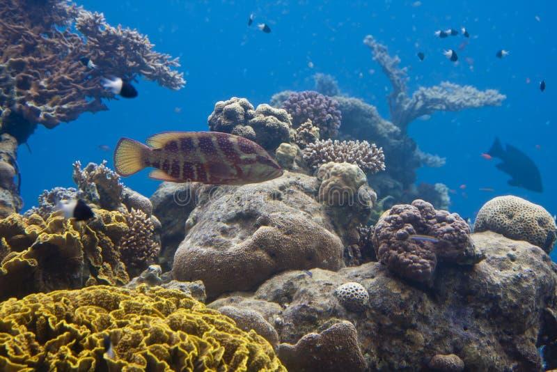 De vissen zwemmen tussen koralen stock afbeelding
