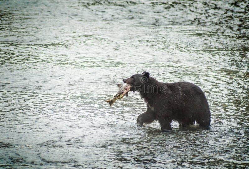 De vissende zwarte draagt stock foto