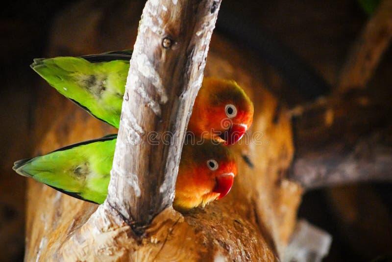 De Visserszitting van twee papegaaienagapornis op tak stock afbeelding