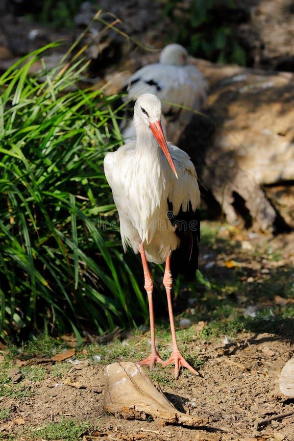 De vista completa da cegonha branca ? um grande p?ssaro vadear no Ciconiidae da fam?lia da cegonha fotografia de stock