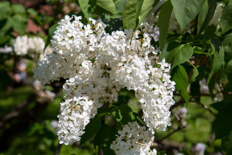 De vita blommorna av bergaskaen p? en bakgrund av gr?na sidor p? v?ren p? en klar solig dag royaltyfri foto