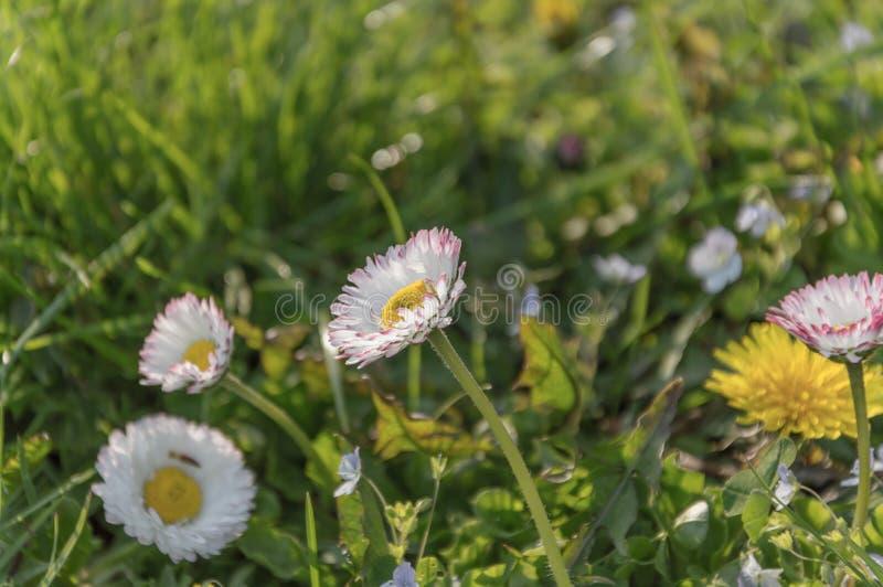 De vita blommorna på i det gröna gräset arkivfoto