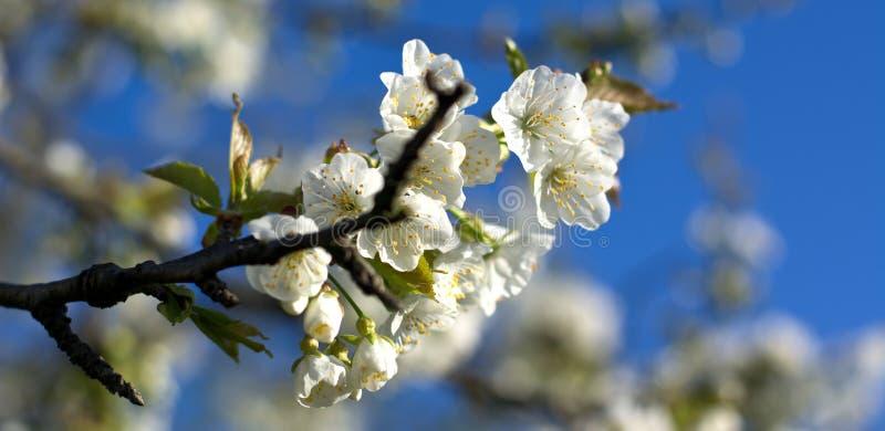 De vita blommorna på vårträd, på de italienska dolomitesna royaltyfri bild