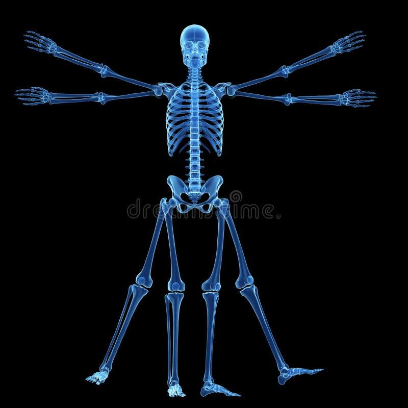 De vitruvian man - skelet royalty-vrije illustratie