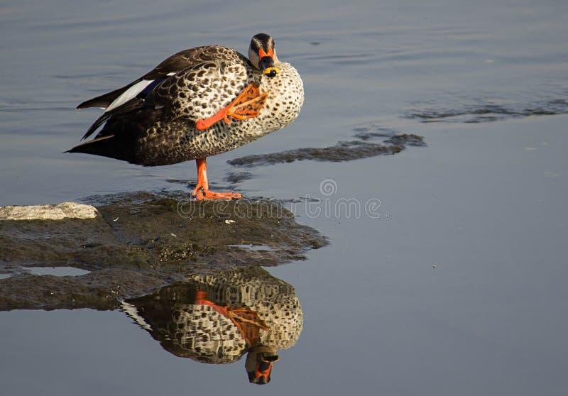 De vlek factureerde eend in een water bij meer, mooie spiegelbezinning van steltvogel royalty-vrije stock afbeeldingen