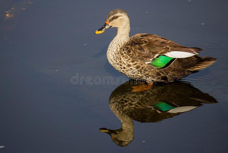 De vlek factureerde eend in een water bij meer, mooie spiegelbezinning van steltvogel stock afbeeldingen