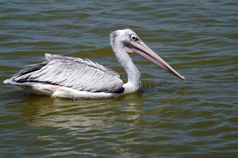 De vlek-gefactureerde pelikaan of grijze pelikaan royalty-vrije stock afbeelding
