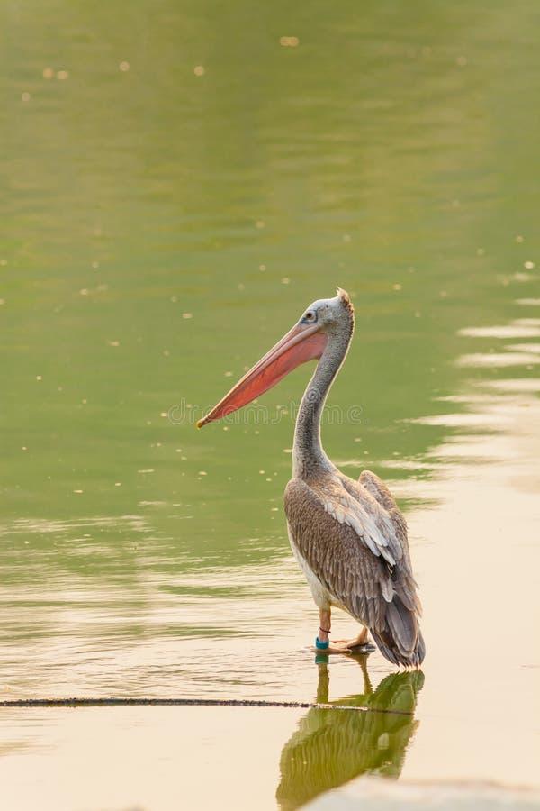 De vlek-Gefactureerde pelikaanvogel bevindt zich royalty-vrije stock foto