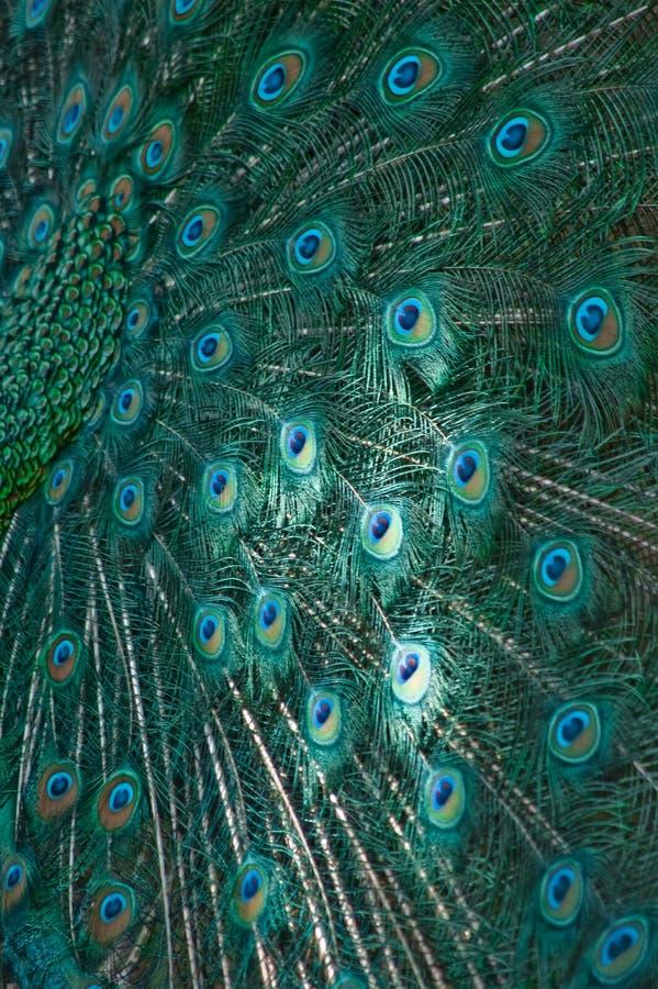 De vleugel van Peafowl stock afbeeldingen